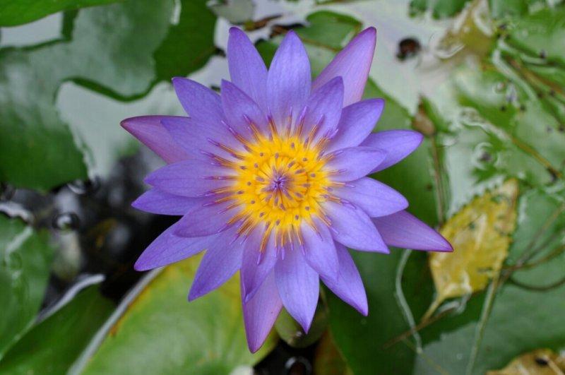 Blue Lotus Resort/Koh Phangan